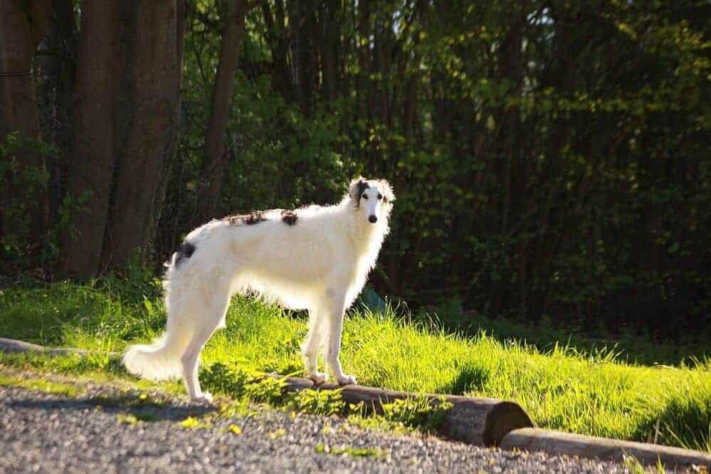 barsoi barzoi hund hunderasse fci windhund kaufen