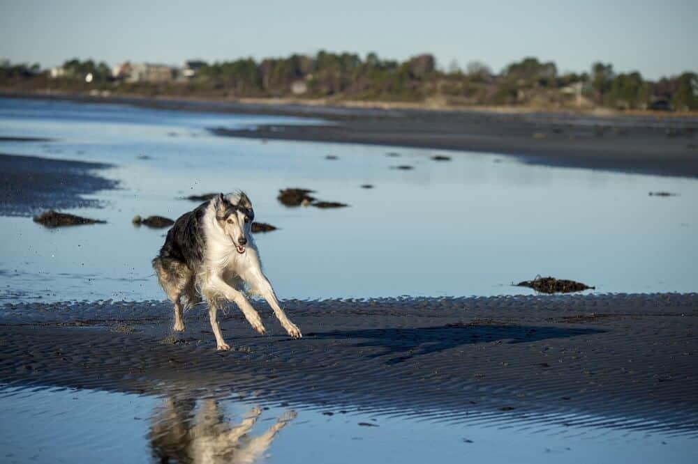 barsoi barzoi hund hunderasse fci windhund schnell geschwindigkeit