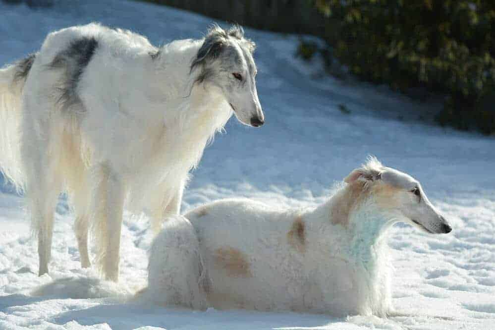 barsoi barzoi hund hunderasse fci windhund