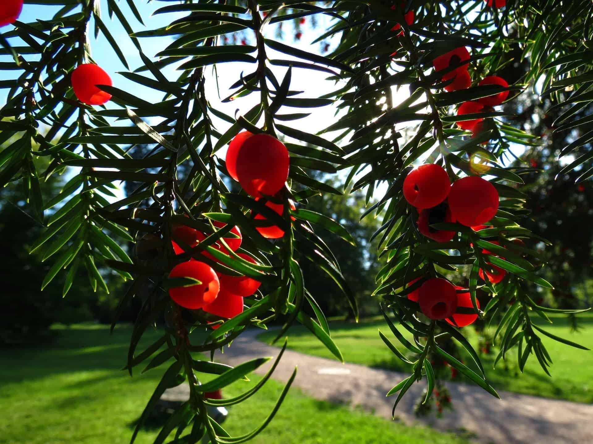 Für Hunde giftige Pflanzen - Eibe mit roten Beeren. /pixabay