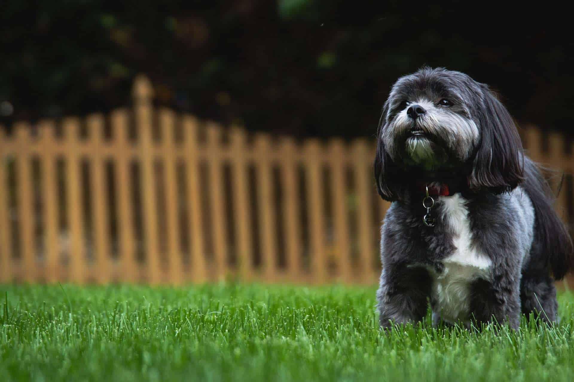 Hunde mit hoher Lebenserwartung, ein dunkler Shih Tzu im Garten. /pixabay