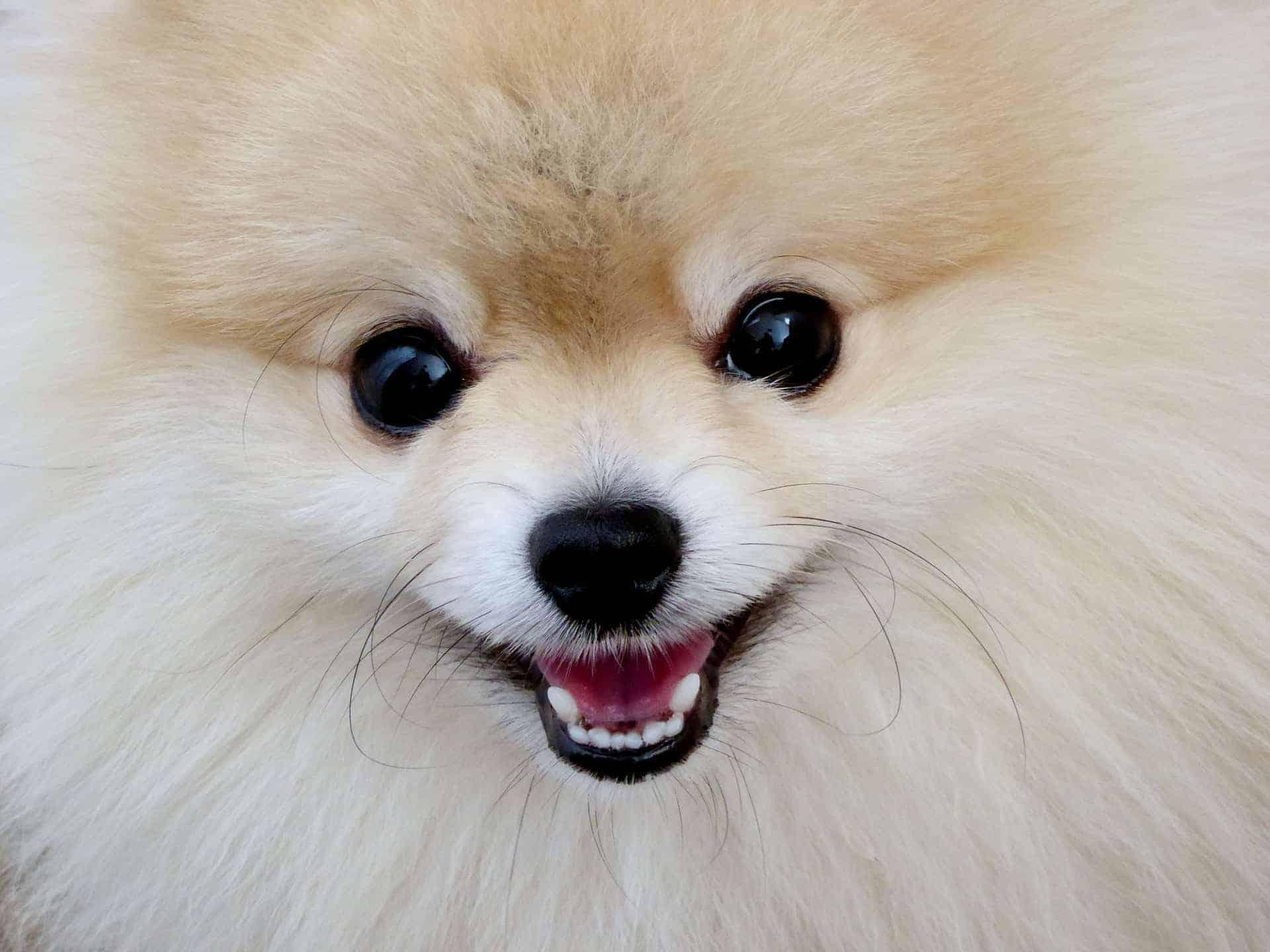Hunde mit hoher Lebenserwartung, Zwergspitz. /pixabay