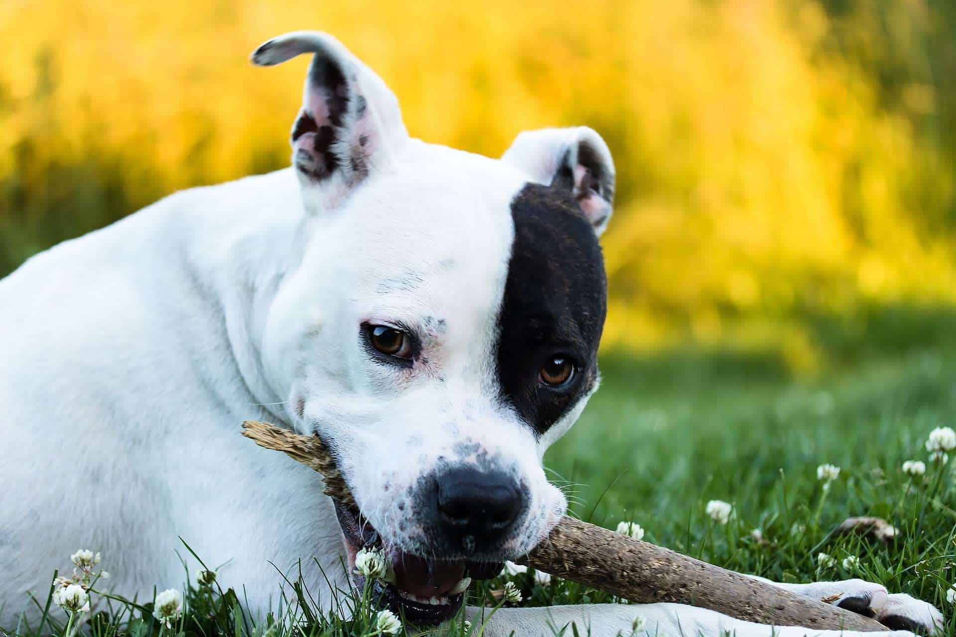 Hunde mit hoher Lebenserwartung, American Staffordshire Terrier. /pixabay