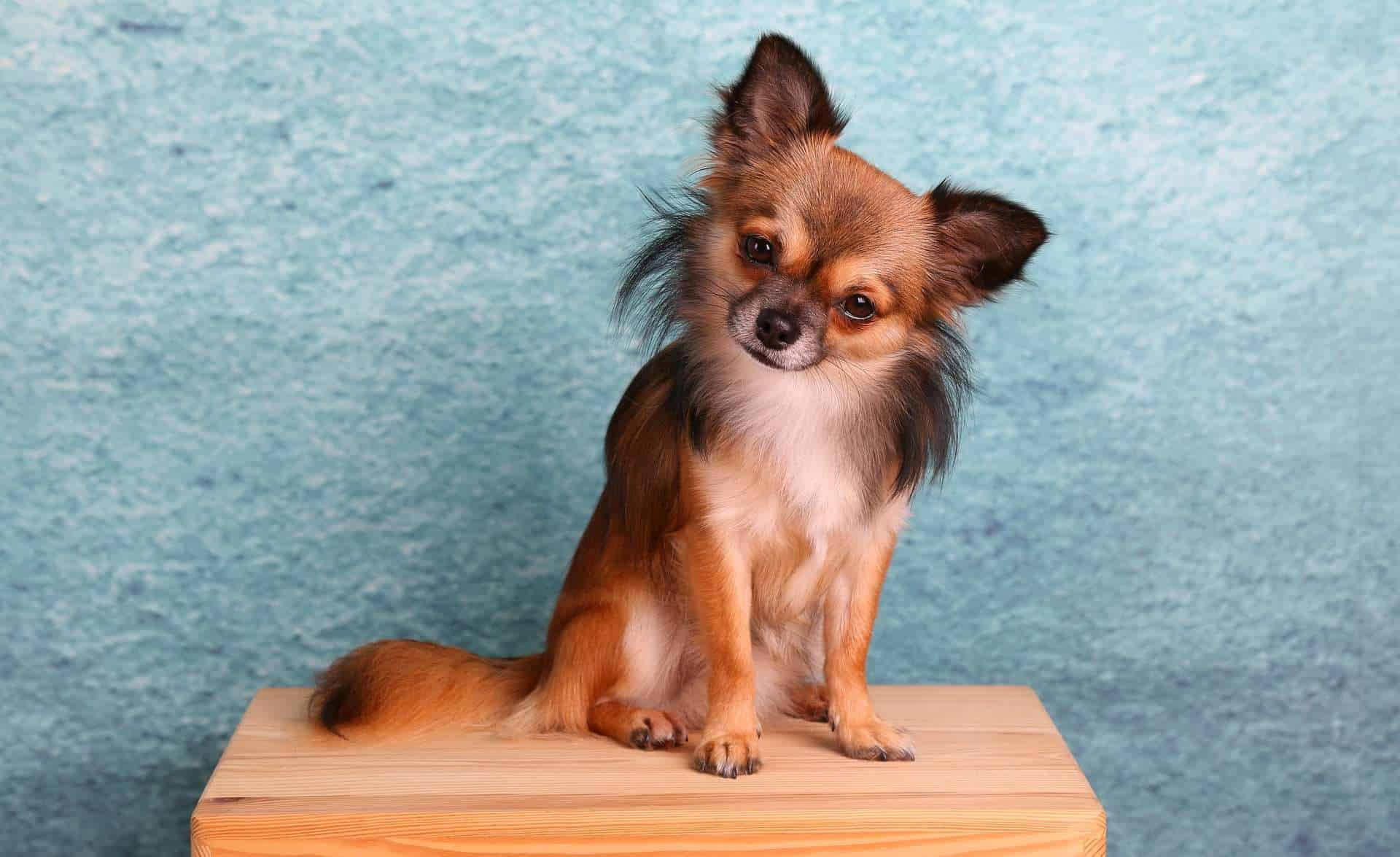 Hunde mit hoher Lebenserwartung, Chihuahua /pixabay