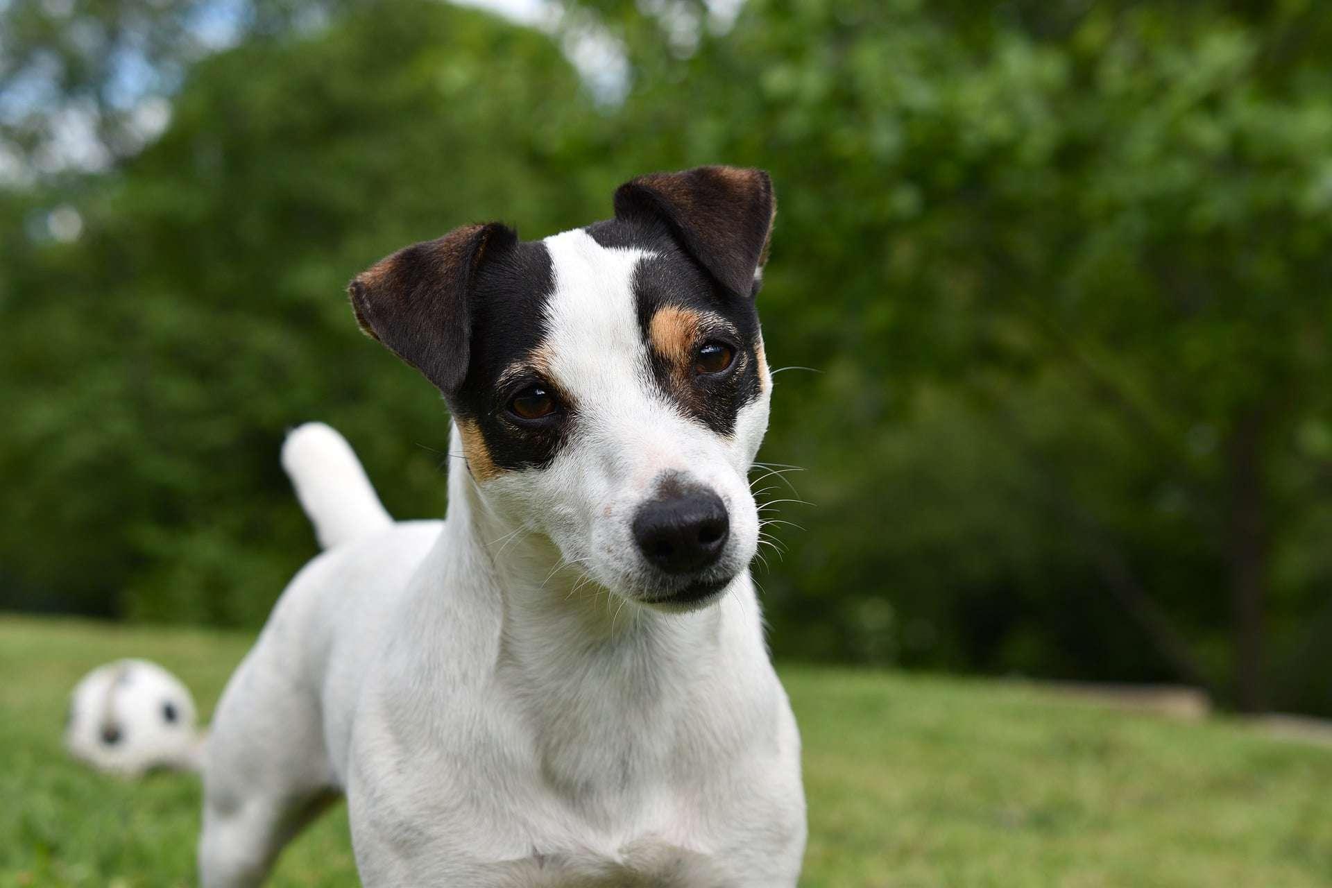 Jack Russel Terrier /pixabay
