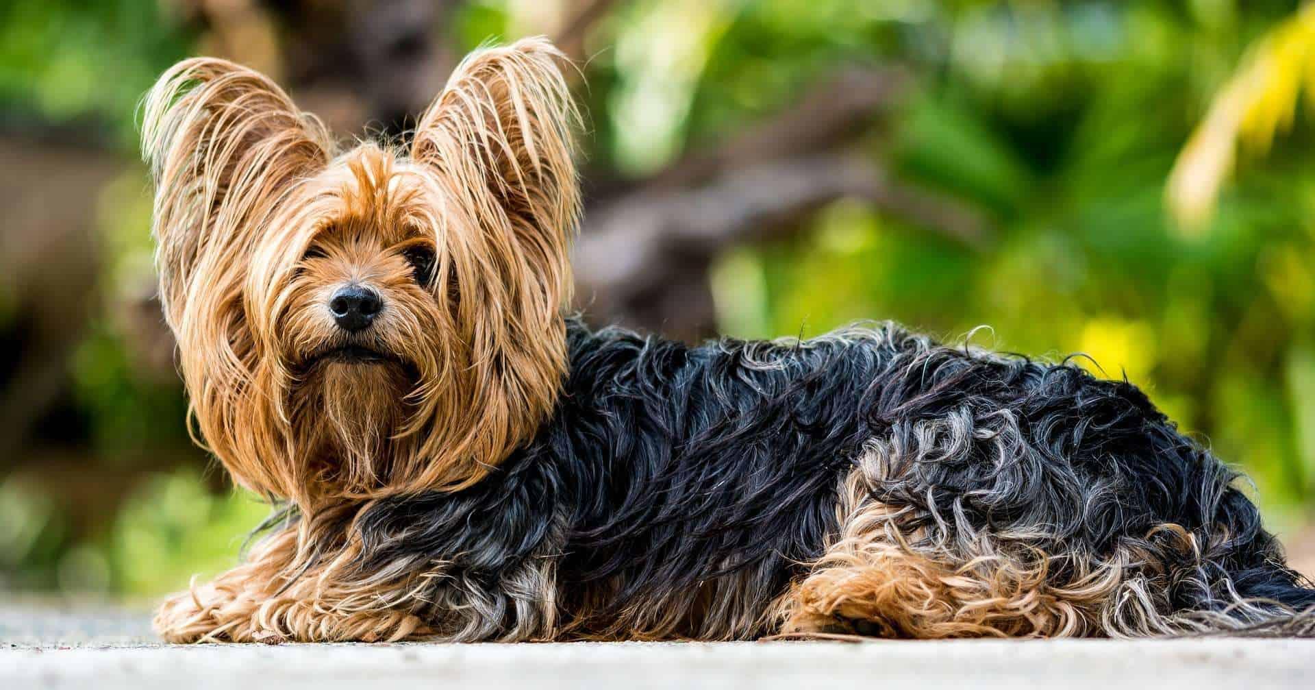Hunde mit hoher Lebenserwartung, Yorkshire Terrier. /pixabay