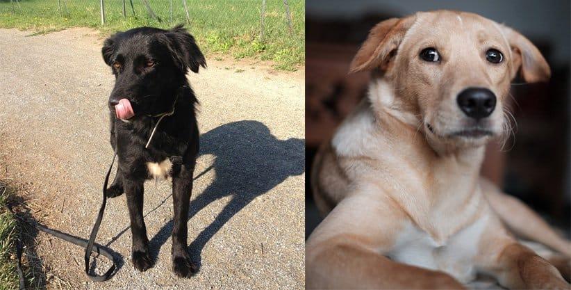 Am linken Bild schleckt sich ein schwarzer Hund die Nase mit der Zunge und am linken Bild schaut ein beiger Hund direkt in die Kamera