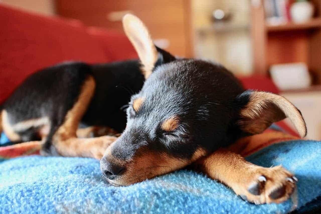 Schlafender Welpe, Wandern mit Hund. /pixabay (sweetlouise)