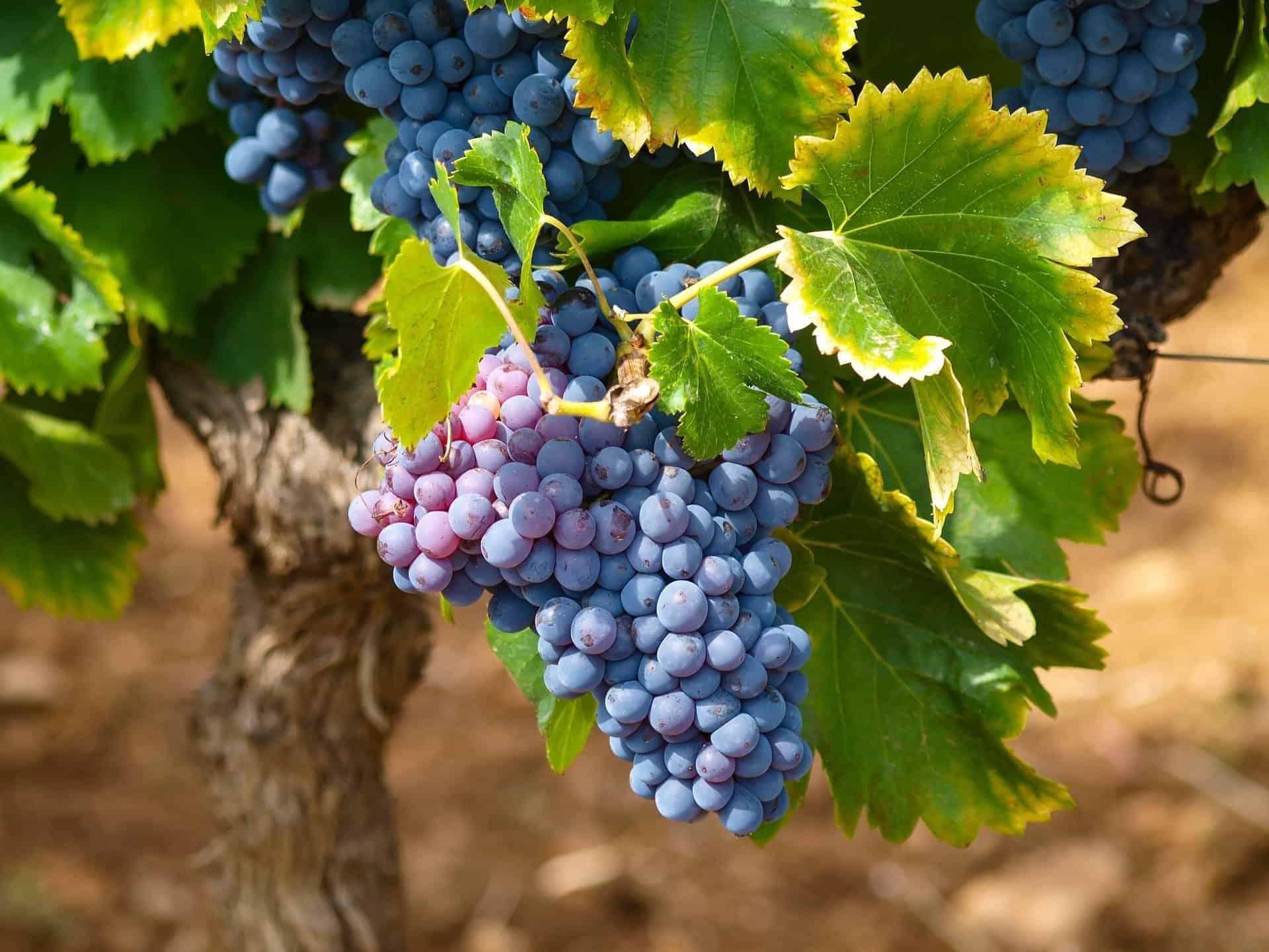 Weintrauben sind für Hunde tödlich giftig. /pixabay (Marc Bendetti)