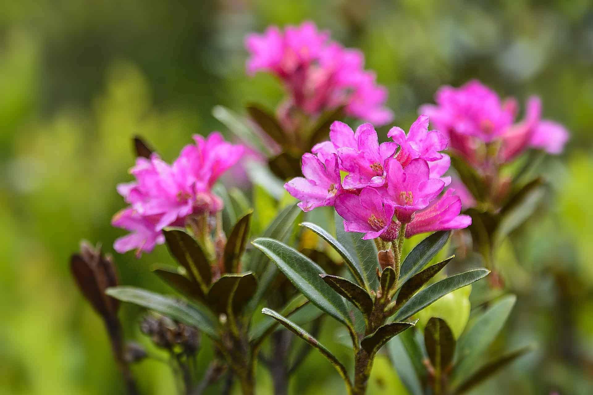 Die Alpenrose ist für Hunde tödlich giftig. /pixabay (gsibergerin)