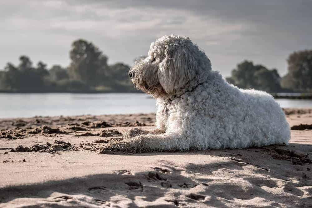 Ein cremefarbener Goldendoodle liegt am STrand und schaut auf die Wellen.