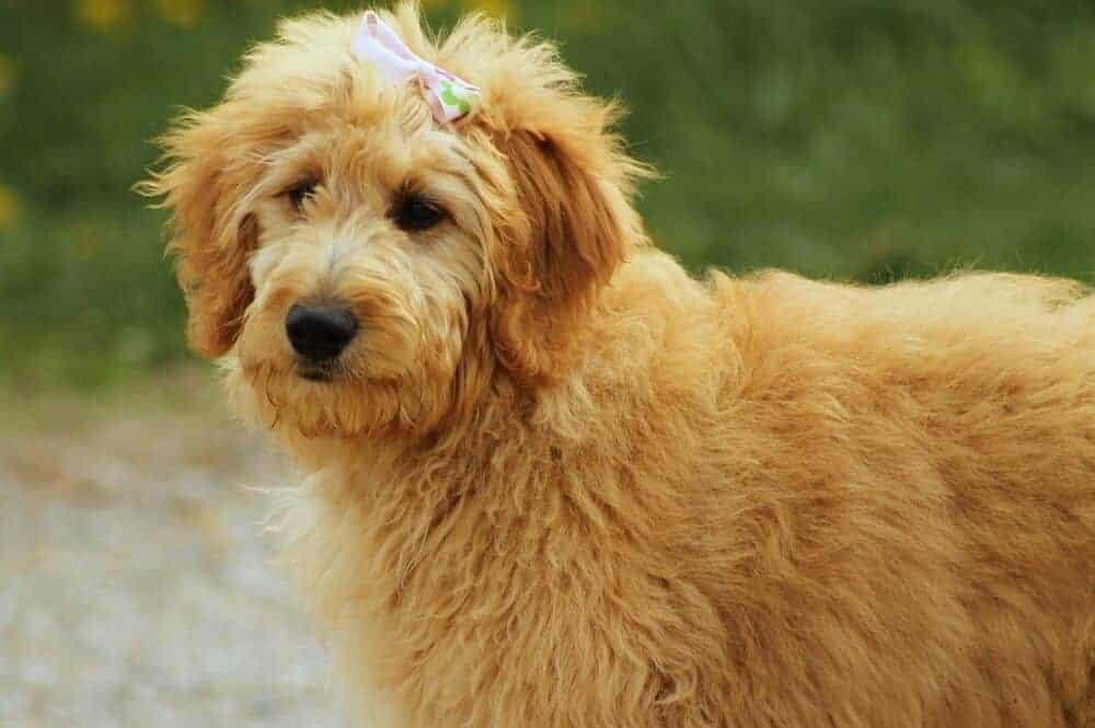 Ein Goldendoodle mit Schleife auf dem Kopf schaut her.