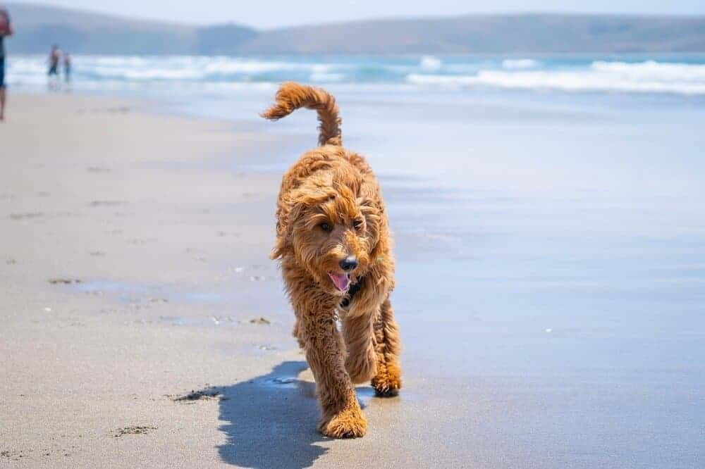 Ein Goldendoodle geht zwischen Meer und Strand spazieren.