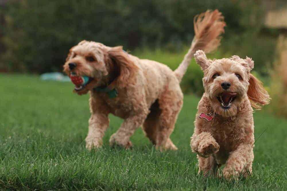 Zwei Goldendoodle-Welpen laufen auf einer Wiese, der rechte hält einen Ball im Maul.