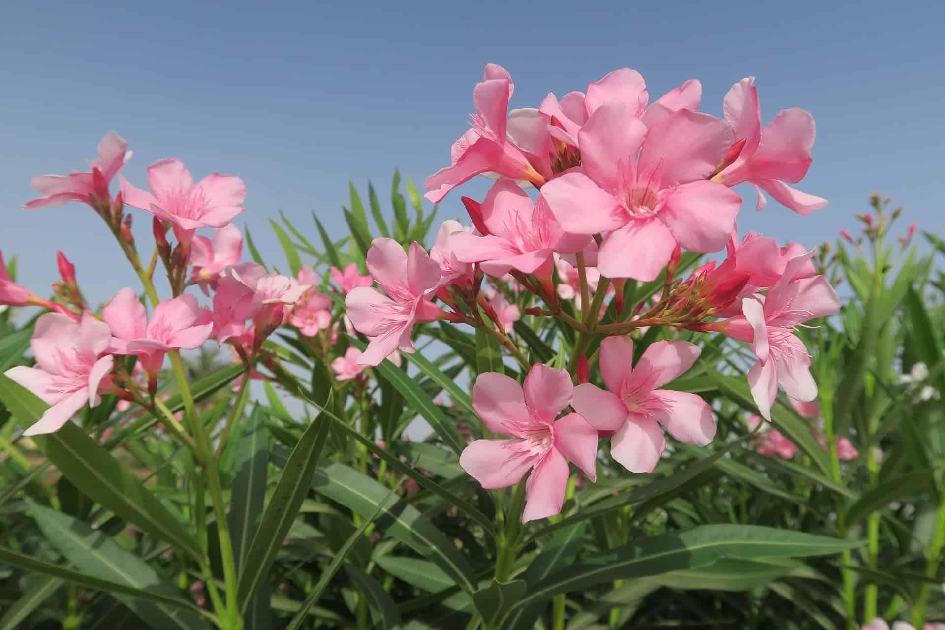 Oleander ist für Hunde giftig /pixabay (Konevi)