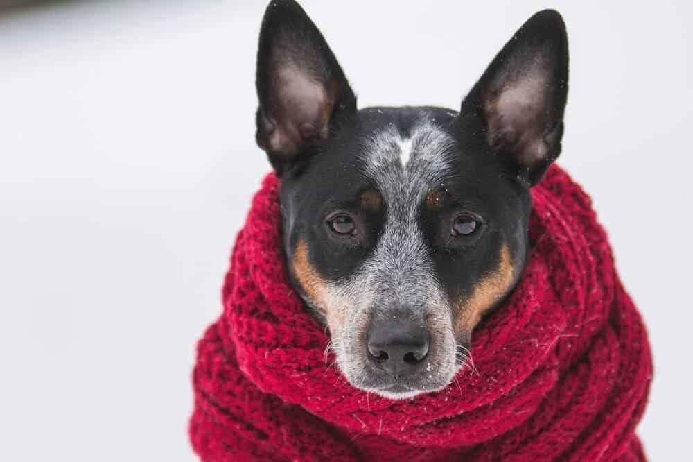 Ein Australian Cattle Dog sitzt mit einem roten Schal um den Hals im Schnee.
