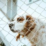 Ein weiß-brauner Hund steht hinter einem Maschendrahtzaun.