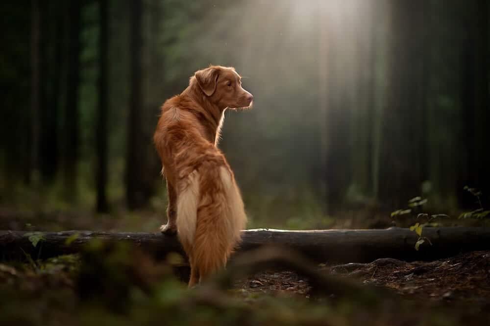 Ein Nova Scotia Retriever steht im Wald.