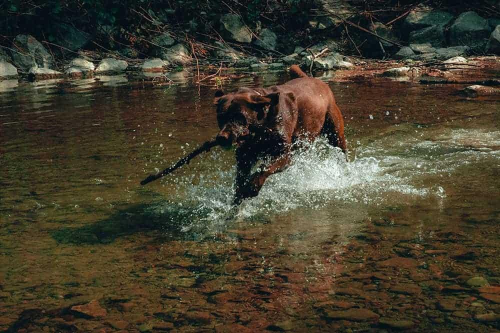 Ein brauner Hund hält ein Stöckchen im Maul und läuft durch einen Bach.