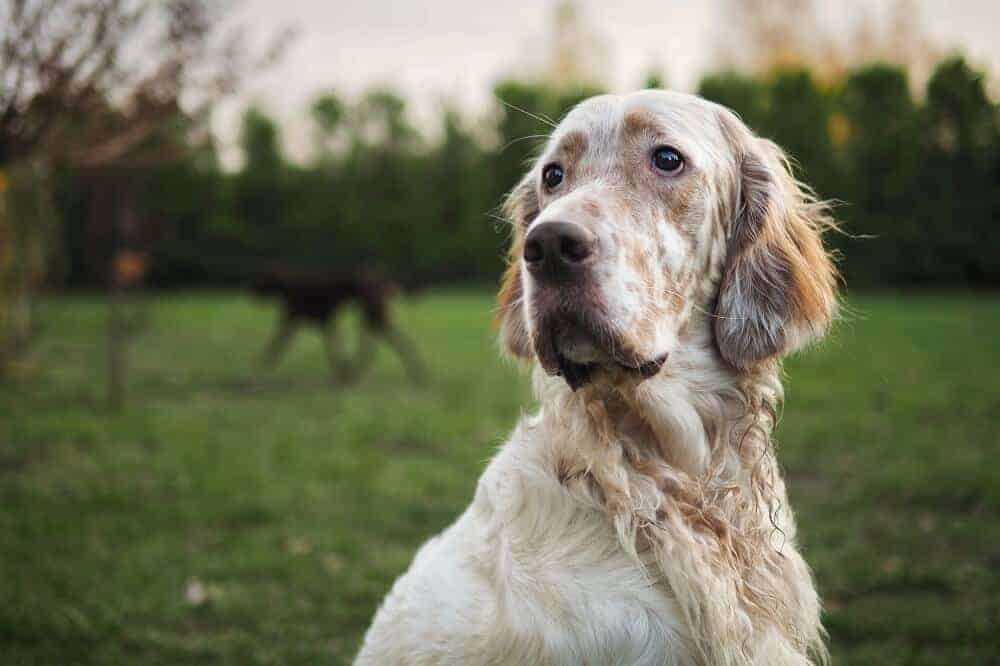 Ein English Setter mit braunen Tüpfeln sitzt auf einer Wiese, im Hintergrund ist ein dunkler Hund zu sehen.