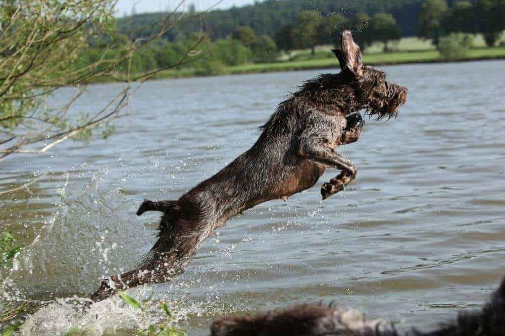 Ein Spinone Italiano springt mit fliegenden Ohren ins Wasser.