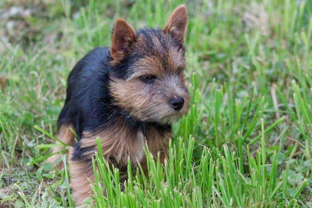 Ein Norwich Terrier-Welpe läuft durchs hohe Gras.