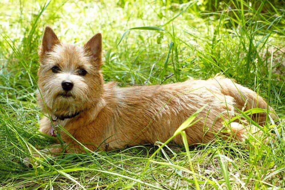 Ein heller Norwich Terrier liegt in der Wiese.
