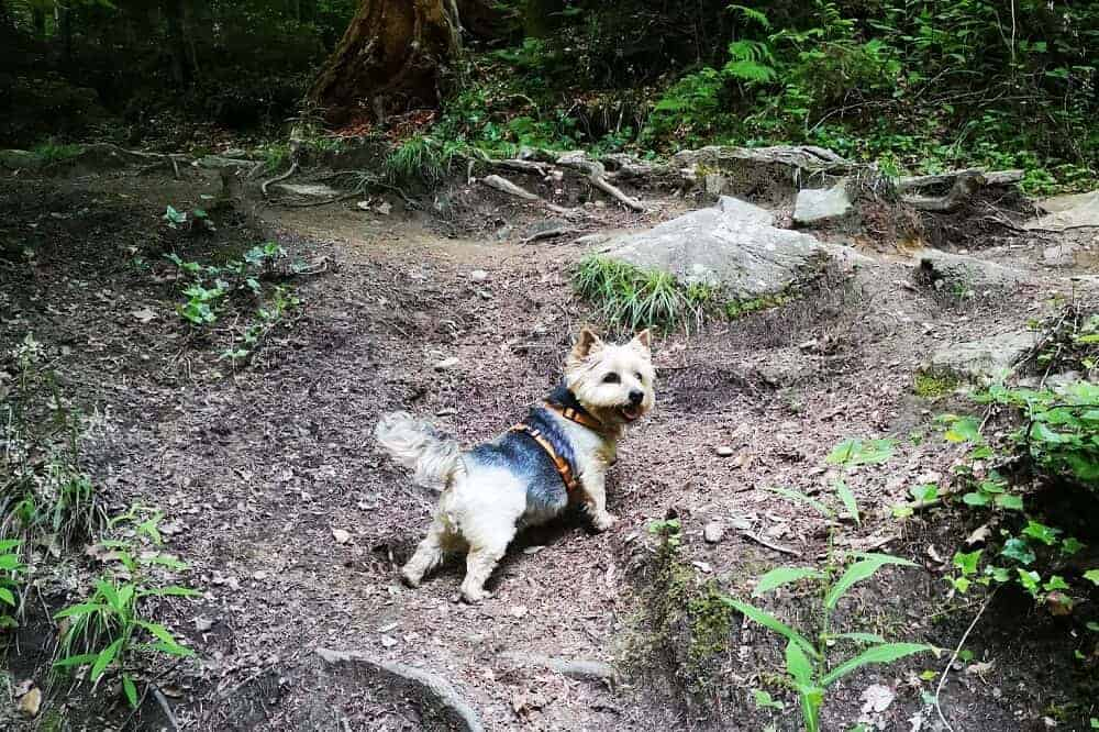 Ein Norwich Terrier steht im Wald, mit dem Rücken zur Kamera.