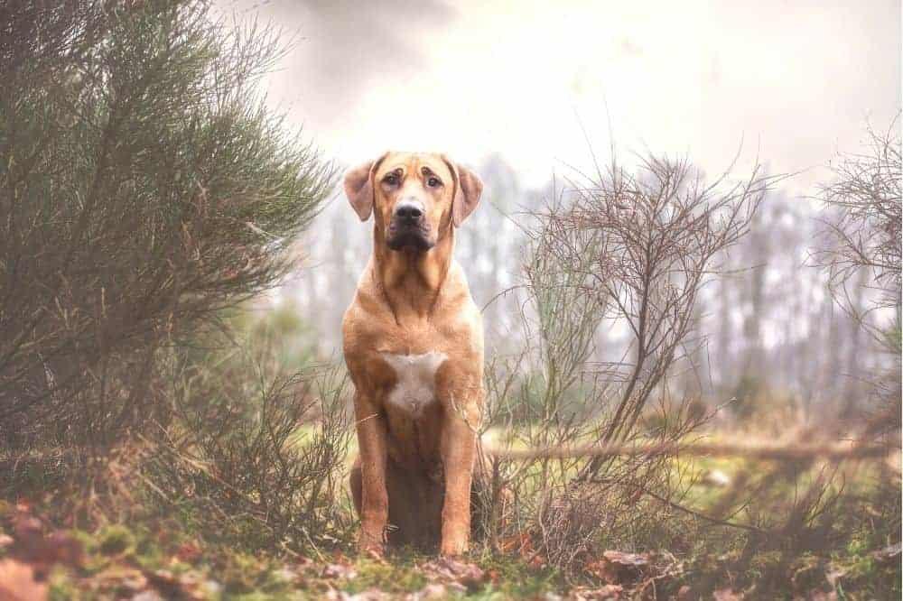 Ein Broholmer sitzt an einem Waldrand.